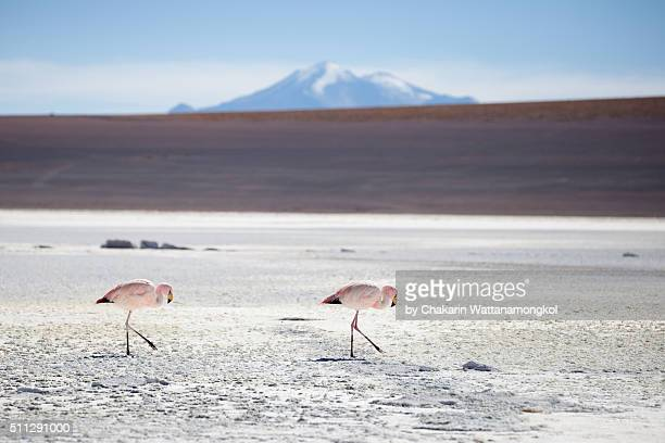 Flamingo on the Salt Flat of Salar de Uyuni