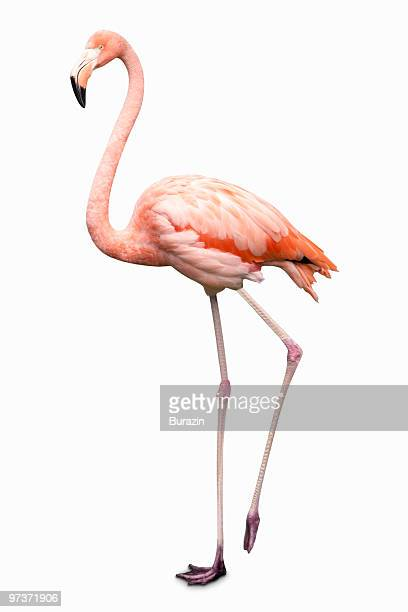 flamingo on white background - flamingo stock pictures, royalty-free photos & images
