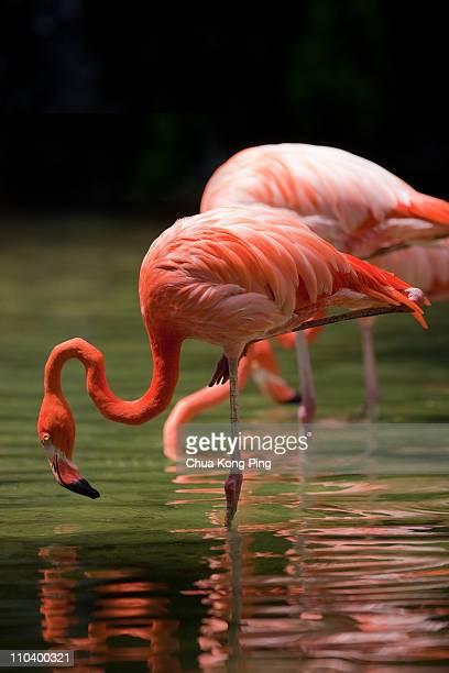 flamingo - jurong bird park stock pictures, royalty-free photos & images