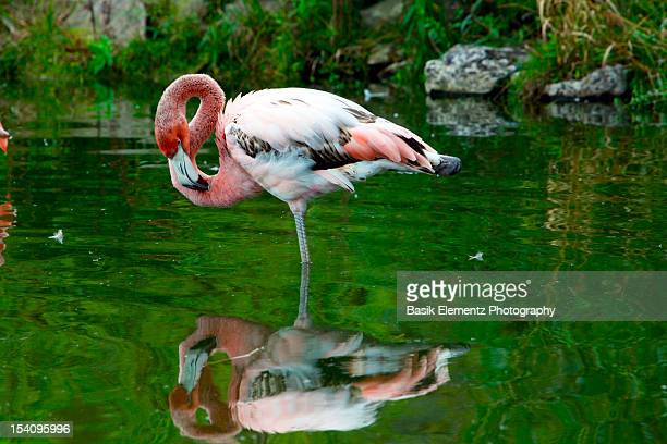 flamingo - standing on one leg stock pictures, royalty-free photos & images