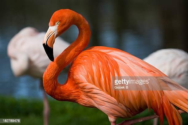 flamingo - flamingo stockfoto's en -beelden