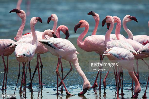 flamingo #4 - walvis bay stock photos and pictures