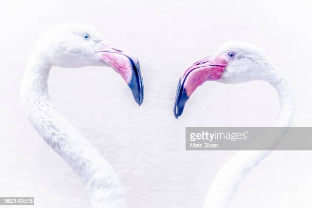 flamingo - flamingo heart stock pictures, royalty-free photos & images