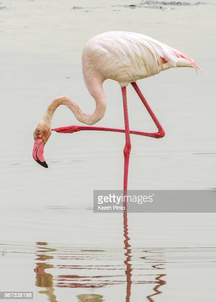 flamingo - greater flamingo stock photos and pictures
