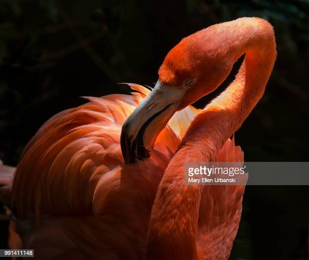 flamingo - freshwater bird stock photos and pictures