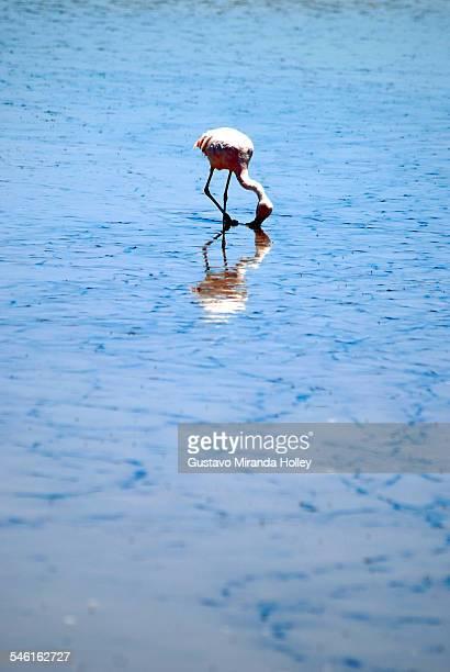 Flamingo reflected