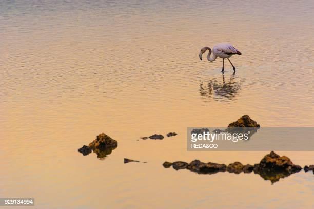 Flamingo Saline Priolo saltwork Siracusa Sicily Italy Europe