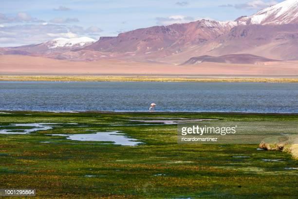 Flamingo standing at the edge of a lake, Paso de Jama, San Pedro de Atacama, Antofagasta, Chile
