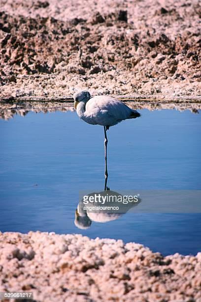 Flamingo standing on one leg in lake, Atacama desert, Chile