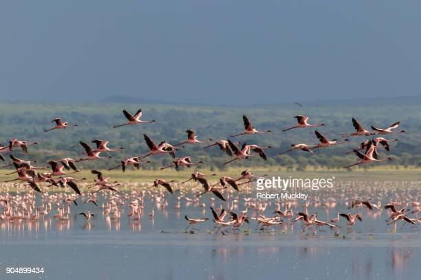 flamingo take off - tarangire national park stock pictures, royalty-free photos & images