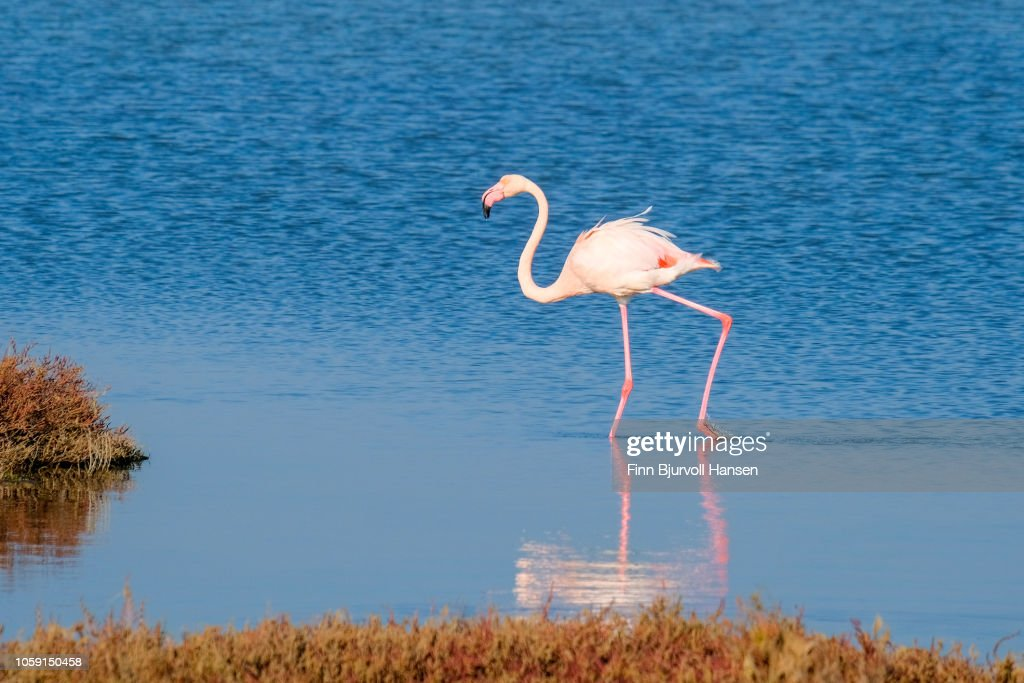 Flamingo walking making a reflection in the water : Stock Photo