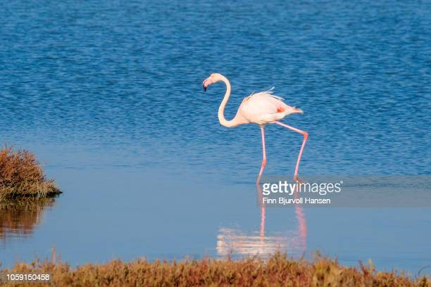 flamingo walking making a reflection in the water - finn bjurvoll stock pictures, royalty-free photos & images
