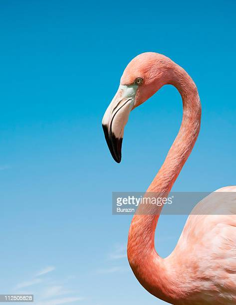 flamingo with blue sky - s shape stock photos and pictures