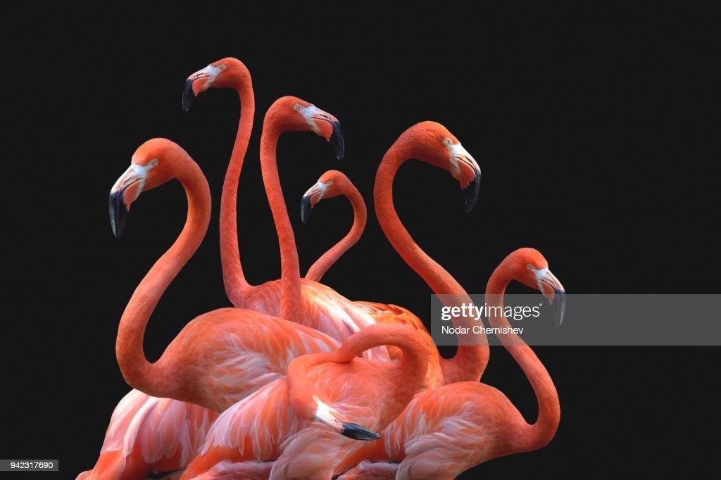 Flamingoes Against Black Background : Stock Photo