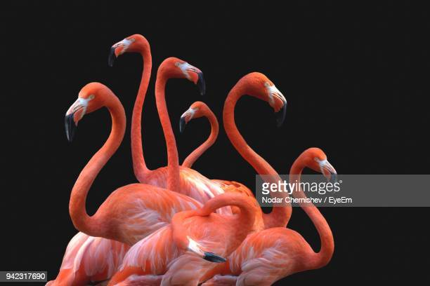 Flamingoes Against Black Background