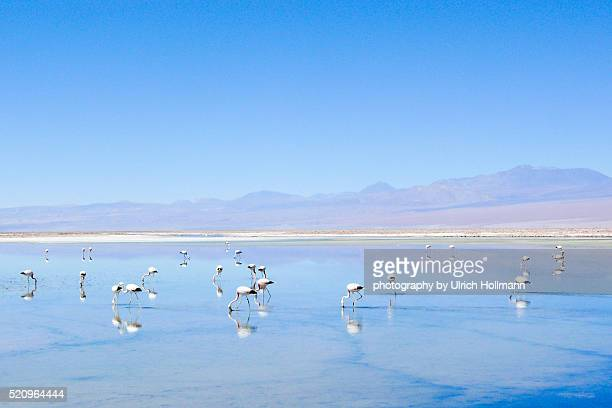 Flamingoes at a salt lake, Salar de Atacama, Chile