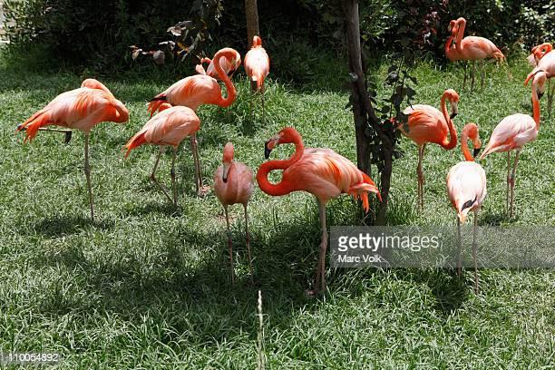 flamingoes at a zoo - flamant rose photos et images de collection