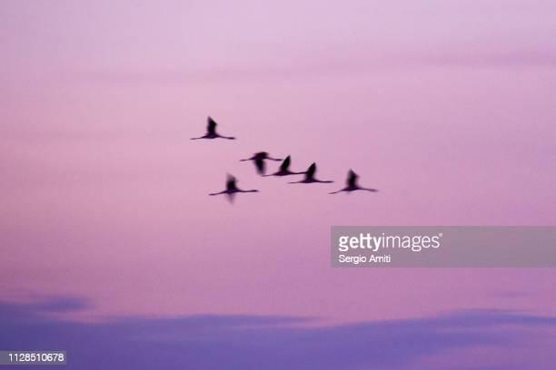 Flamingoes flying at sunrise