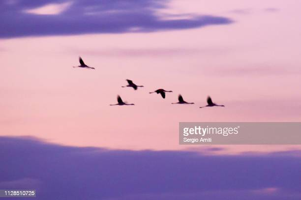 Flamingoes flying at sunrise