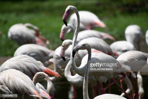 Flamingoes gather in a pond at Jurong Bird Park in Singapore on November 27, 2019.