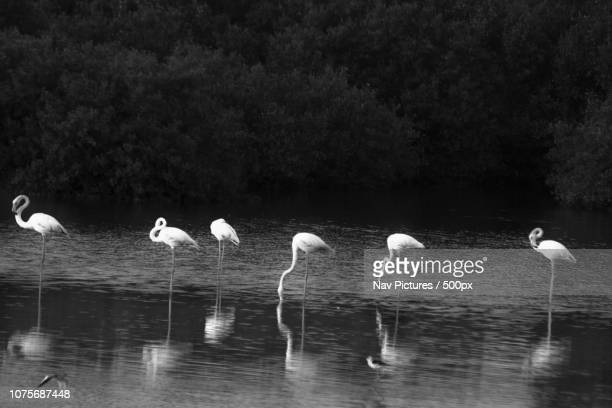 Flamingoes in black and white reflections