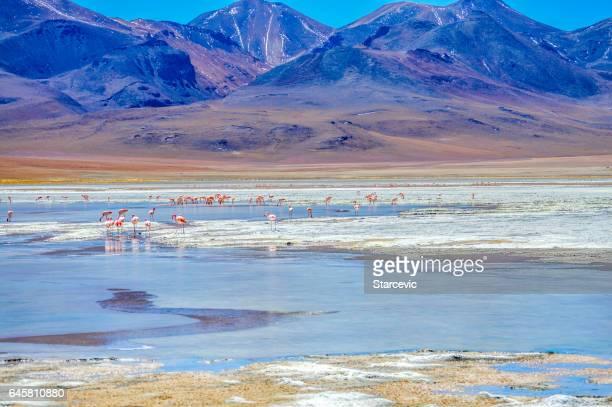 Flamants roses dans le lagon dans le Salar de Uyuni en Bolivie