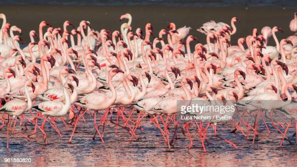flamingoes in lake - walvis bay stock photos and pictures