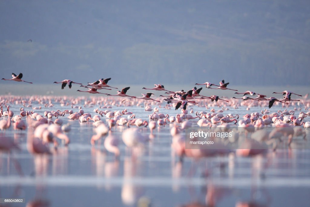 Flamingoes de lago Nakuru : Foto de stock