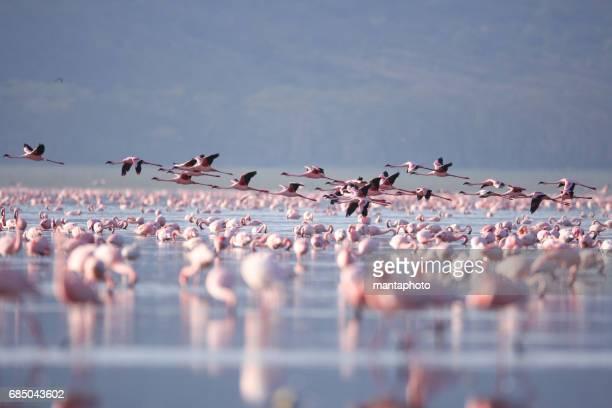 flamingoes on lake nakuru - lake nakuru stock photos and pictures