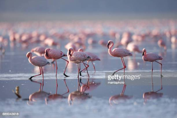 flamingoes on lake nakuru - flamingo stock photos and pictures