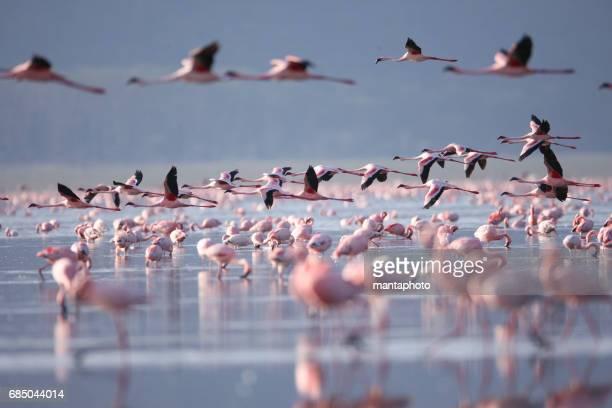 flamingoes on lake nakuru - greater flamingo stock photos and pictures