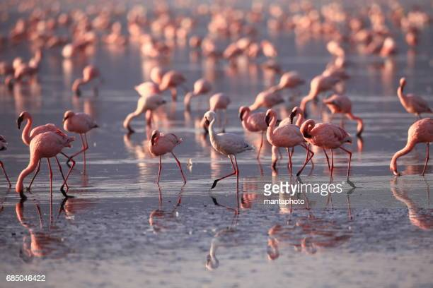 flamingoes on lake nakuru - wildlife reserve stock photos and pictures