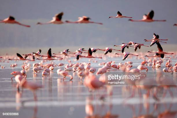 flamingoes on lake nakuru - kenya stock pictures, royalty-free photos & images
