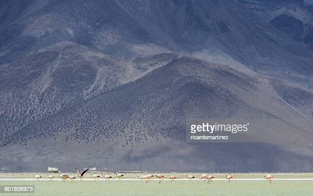 Flamingoes on the Salar de Surire, Chile