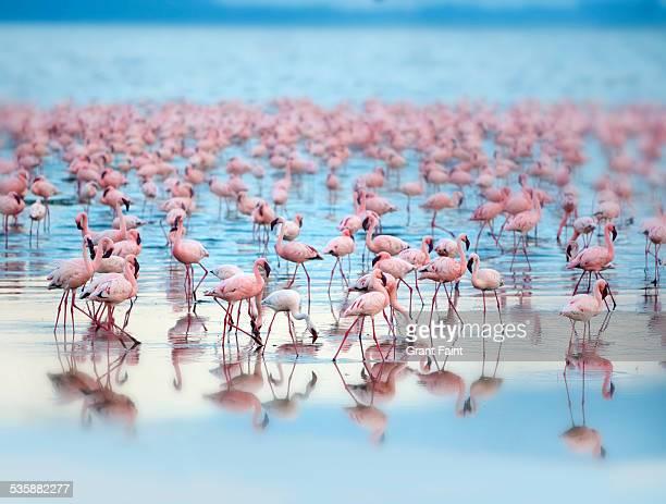 flamingoes - lake nakuru - fotografias e filmes do acervo