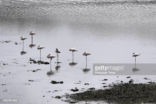 Flamingoes seen at Mini seashore Vashi on July 18 2018 in Navi Mumbai India