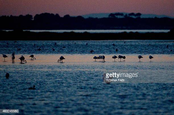 Flamingos are pictured in the Lagoon of Orbetello near the Province of Grosseto, Tuscany, on February 11, 2015. AFP PHOTO / TIZIANA FABI