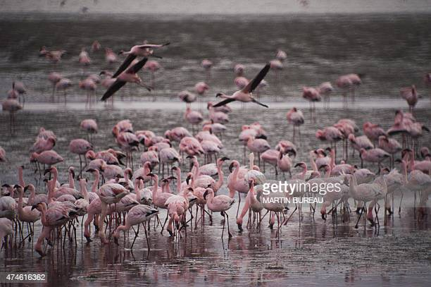 Flamingos are pictured on May 12 2015 at Walvis Bay AFP PHOTO / MARTIN BUREAU