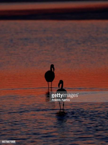 Flamingos are seen at Gediz River during the sunset at Bird Paradise in Izmir Turkey on October 5 2017 Flamingos largest colony of Izmir bird...