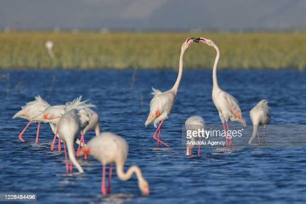 Flamingos are seen at Lake Ercek located in Van province of Turkey on September 11, 2020.