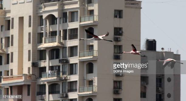 Flamingos are seen flying near a building. The migratory birds, which visit Mumbai every year, have arrived in huge numbers, in the middle of a...