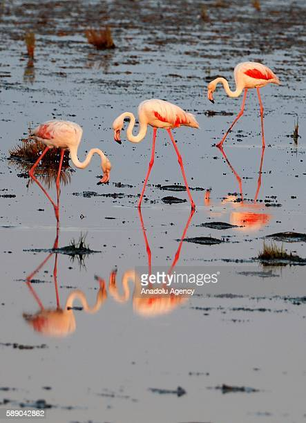 Flamingos are seen in the Gediz Delta in Izmir Turkey on August 11 2016 Flamingos largest colony of Izmir bird paradise took their place in the area...