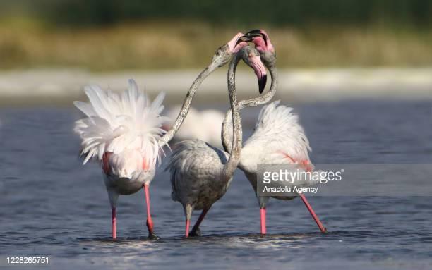 Flamingos are seen on Lake Van at Lake Van Basin on August 04, 2020 in Van province, Turkey. Lake Van, one of the most important temporary...