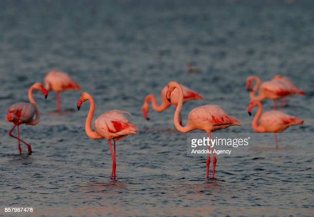 Flamingos are seen over Gediz River at Bird Paradise in Izmir Turkey on October 5 2017 Flamingos largest colony of Izmir bird paradise took their...