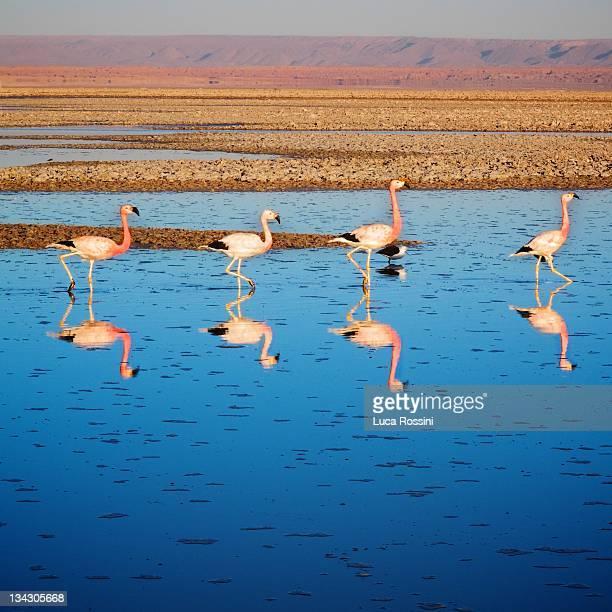 Flamingos at  Atacama