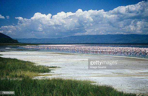 flamingos at lake nakuru - lake nakuru stock photos and pictures