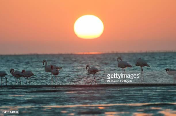 flamingos at sunset. walvis bay, namibia. - walvis bay stock photos and pictures