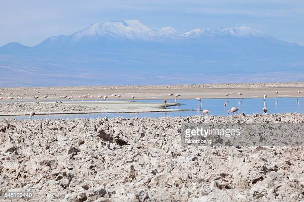 Flamingos feed in the Tebenquiche lagoon at the Atacama saltflat in San Pedro de Atacama Chile on Thursday June 2 2016 The average number of...