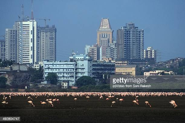 Flamingos feeding in backdrop of Mumbai buildings