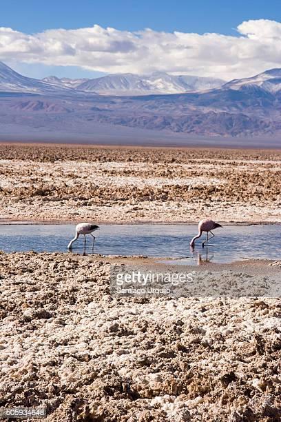 Flamingos feeding in Salar de Atacama